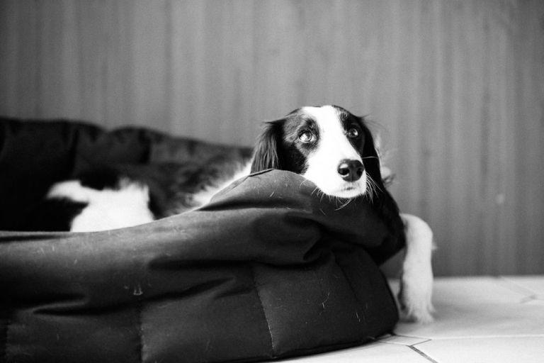 FAMILY DOG IN BASKET PORTRAIT